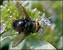 Tachinid Fly - Archytas metallicus