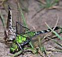 female Eastern Pondhawk (Erythemis simplicicollis) as prey - Triorla interrupta