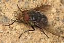 fairly big black fly - Calliphora vomitoria - male