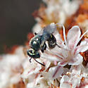 ID for a tiny bee? - Perdita