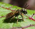 Sweat Bee from Oregon Repeatedly Regurgitating Liquid - Halictus - female