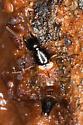 Rove Beetle - Belonuchus rufipennis