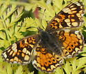Mylitta Crescent - Phyciodes - female