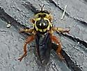 Unknown Bug found in North Carolina - Laphria saffrana