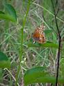 Georgia May - Euptoieta claudia - female