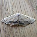 Frosted Tan Wave Moth (Scopula cacuminaria)  - Scopula cacuminaria