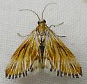 Moth - Edia minutissima