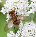 Tachinidae? - Gymnoclytia - male