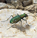 Tiger from near tree-line in the Siskiyou Mnts - Cicindela depressula