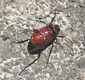 Scaraboid? Beetle - Phyllophaga