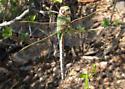 Dragonfly - Anax junius