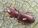 beetle - Rhyncolus brunneus