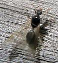 Ant Alate - Tetramorium species-e