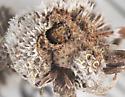 Anthribidae, in Sneezeweed cocoon - Trigonorhinus limbatus