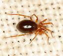 spider #22 voucher image - Microneta viaria - female