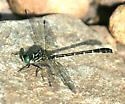 Least Clubtail - Stylogomphus albistylus - male