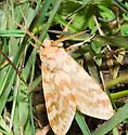 Unknown Caterpillar - Lophocampa maculata