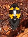 Sap Beetle - Glischrochilus fasciatus