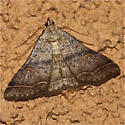 Moth with orange spots - Bleptina caradrinalis