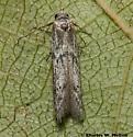 Moth - Blastobasis