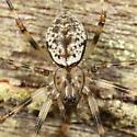 Spider - Drapetisca alteranda