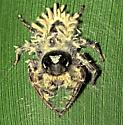 Fungal Infection on Jumping Spider (Phiddipus putnami)