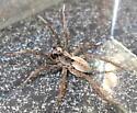 Wolf Spider - Alopecosa aculeata - male