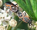 Small Milkweed Bug - Lygaeus kalmii - male - female