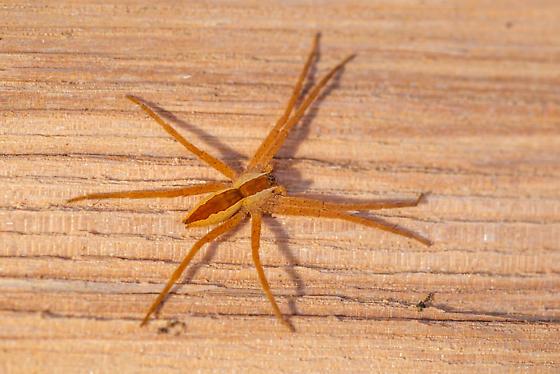 Woodpile spider - Pisaurina mira