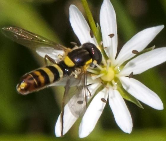 Very small bee - Sphaerophoria sulphuripes - male