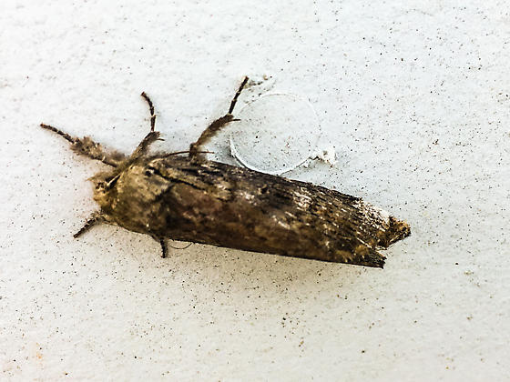 Moth in Meredith NH