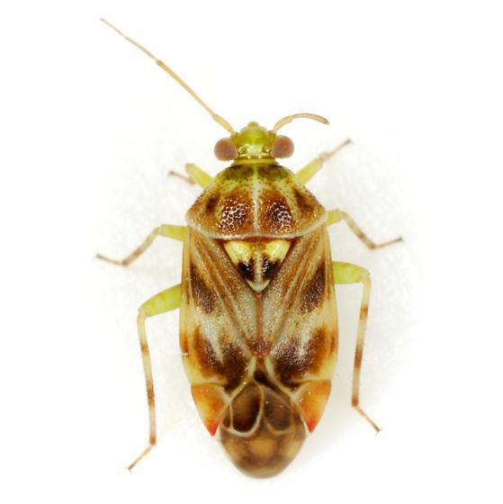 Tropidosteptes quercicola (Johnston) - Tropidosteptes quercicola
