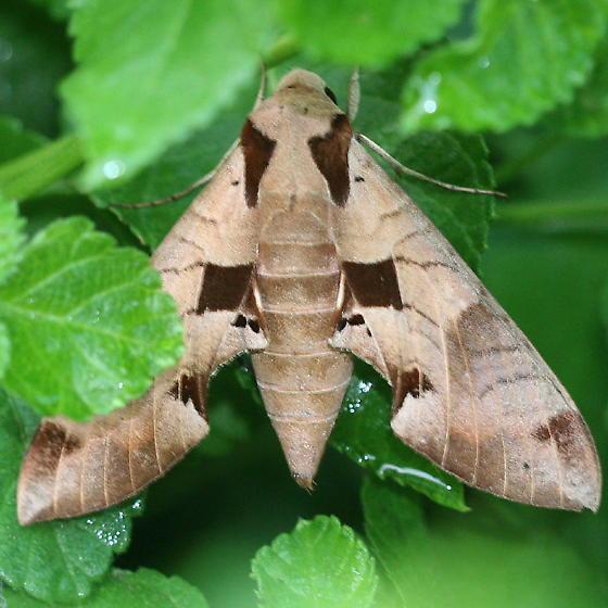Achemon Sphinx Moth - Eumorpha achemon