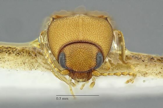 Elateridae - Paradonus futilis