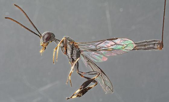 Gasteruption tarsatorium - female