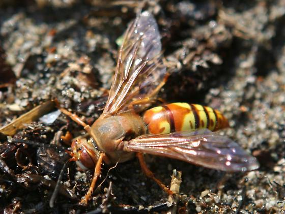 Western/Pacific Cicada Killer Wasp - Sphecius grandis