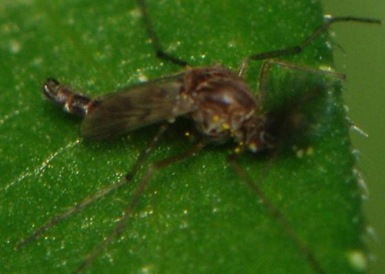 Chironomidae (Midges) - Procladius - male