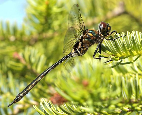 Delicate Emerald - Somatochlora franklini - female