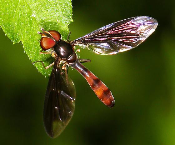 Syrphidae - Ocyptamus fuscipennis