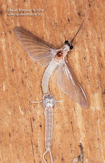 Ephemeroptera - molting - Ephoron leukon