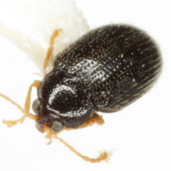 Epitrix sp. (EGR 1) - Epitrix