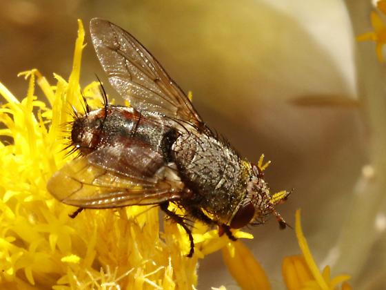 Parasitic Fly (Family Tachinidae) - Peleteria