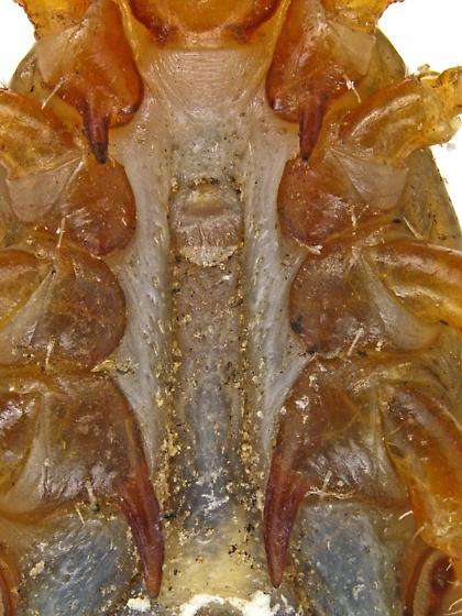 Amblyomma maculatum or A. triste? That is the question. - Amblyomma maculatum - male