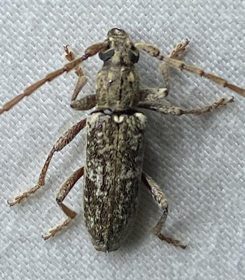 Possible Anelaphus debilis observed in North Texas - Anelaphus debilis