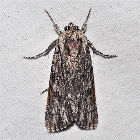 Acronicta extricata - Hodges#9265 - Acronicta extricata - male