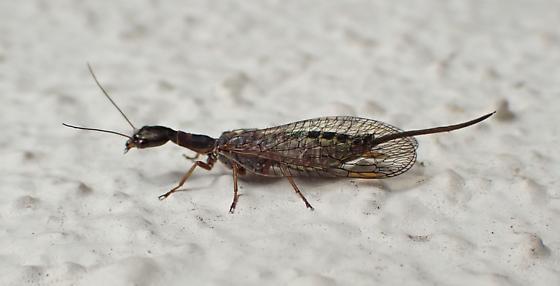 UI insect, central coast CA - Agulla - female