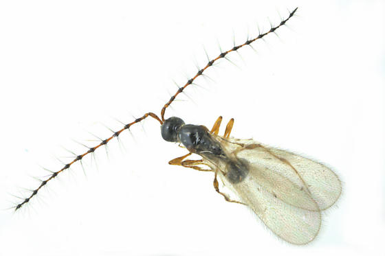 Wasp - Trichopria
