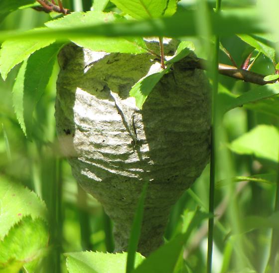 Id help needed. - Dolichovespula maculata