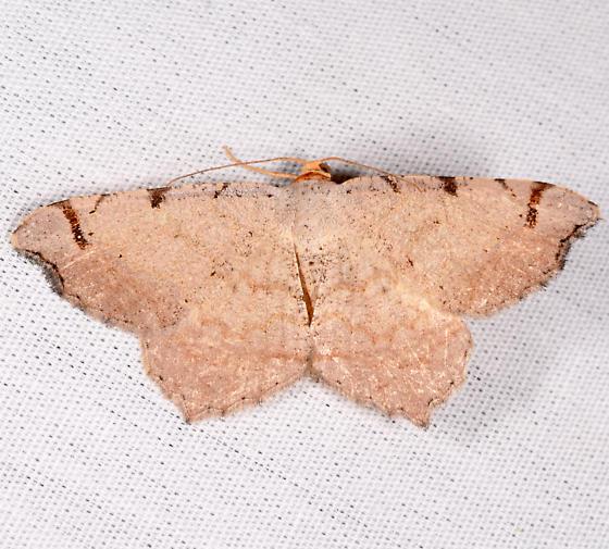 Macaria - Macaria bicolorata