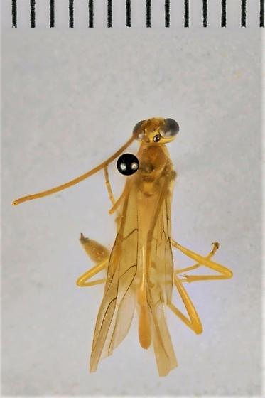 Enicospilus flavostigma - female